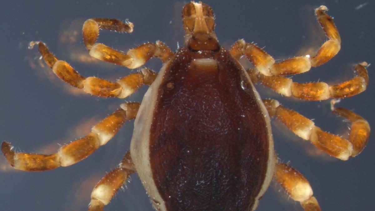 Ein Männchen der Art Hyalomma rufipes. Die Gattung Hyalomma erkennt man an den auffallend braun-gelb gestreiften Beinen.