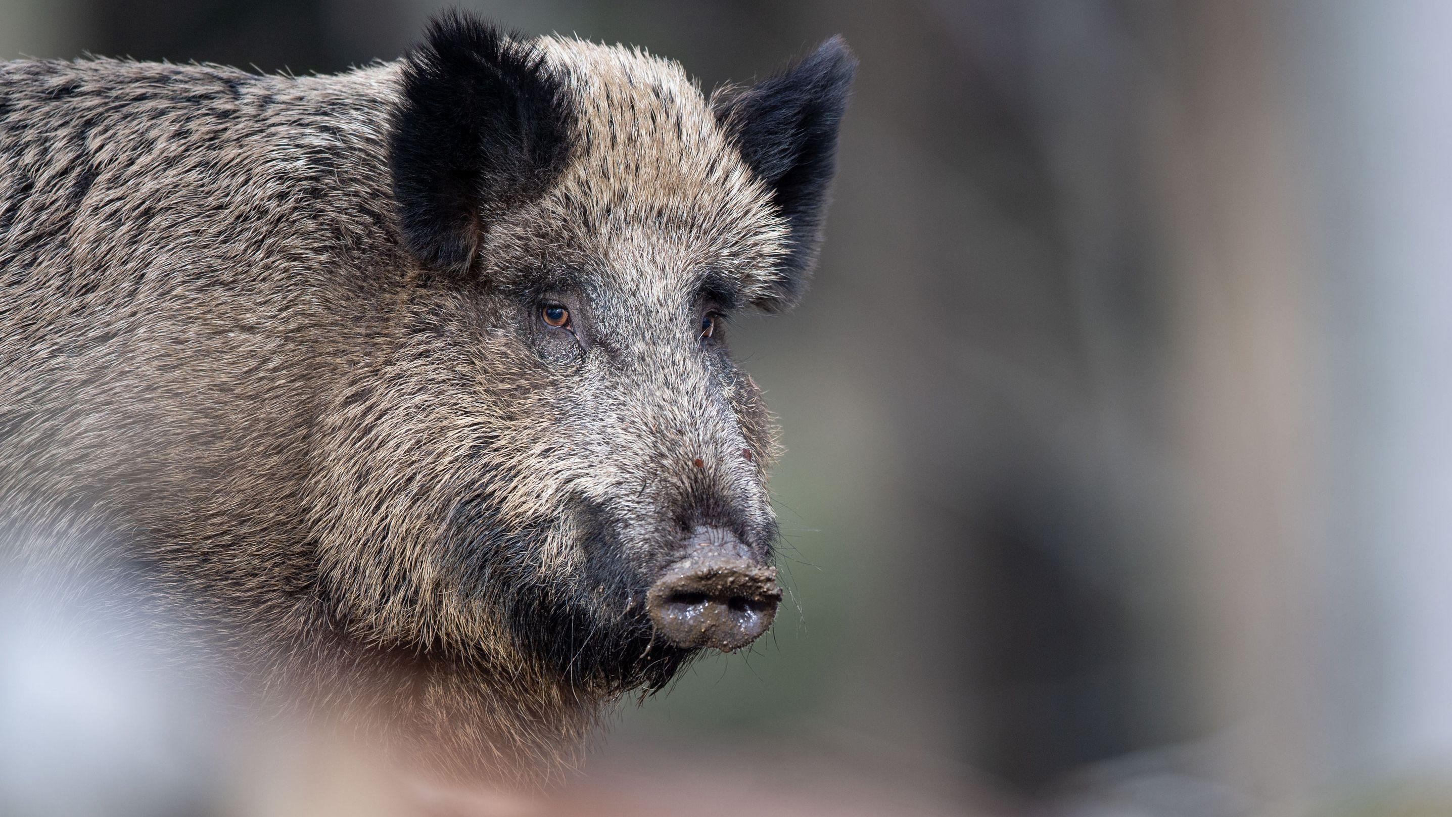 Wildschwein im Wald (Symbolbild)