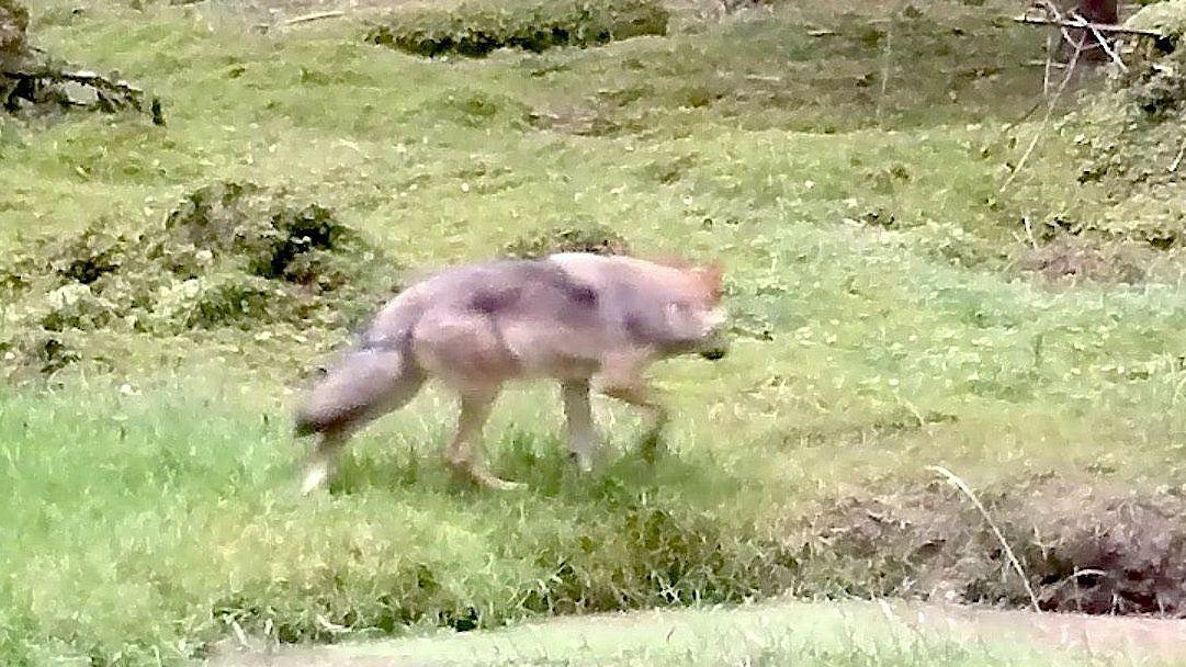Junger Wolf im Veldensteiner Forst