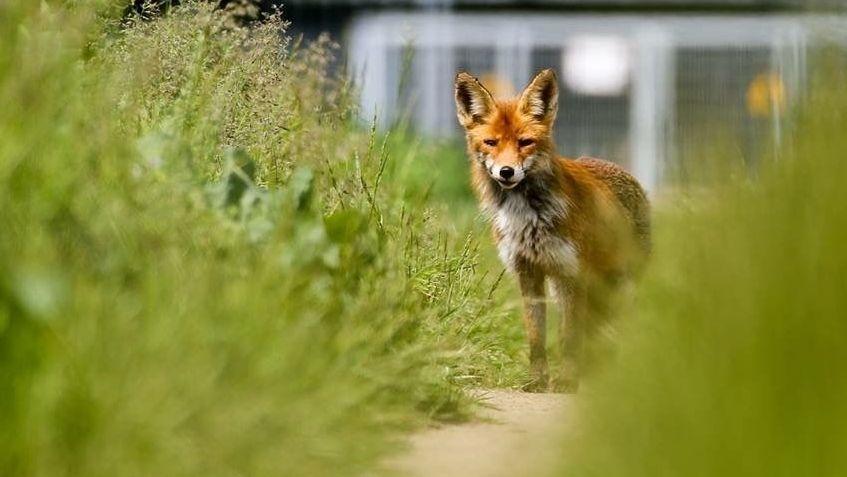 Ein Fuchs auf einer Wiese mit einem Zaun im Hintergrund