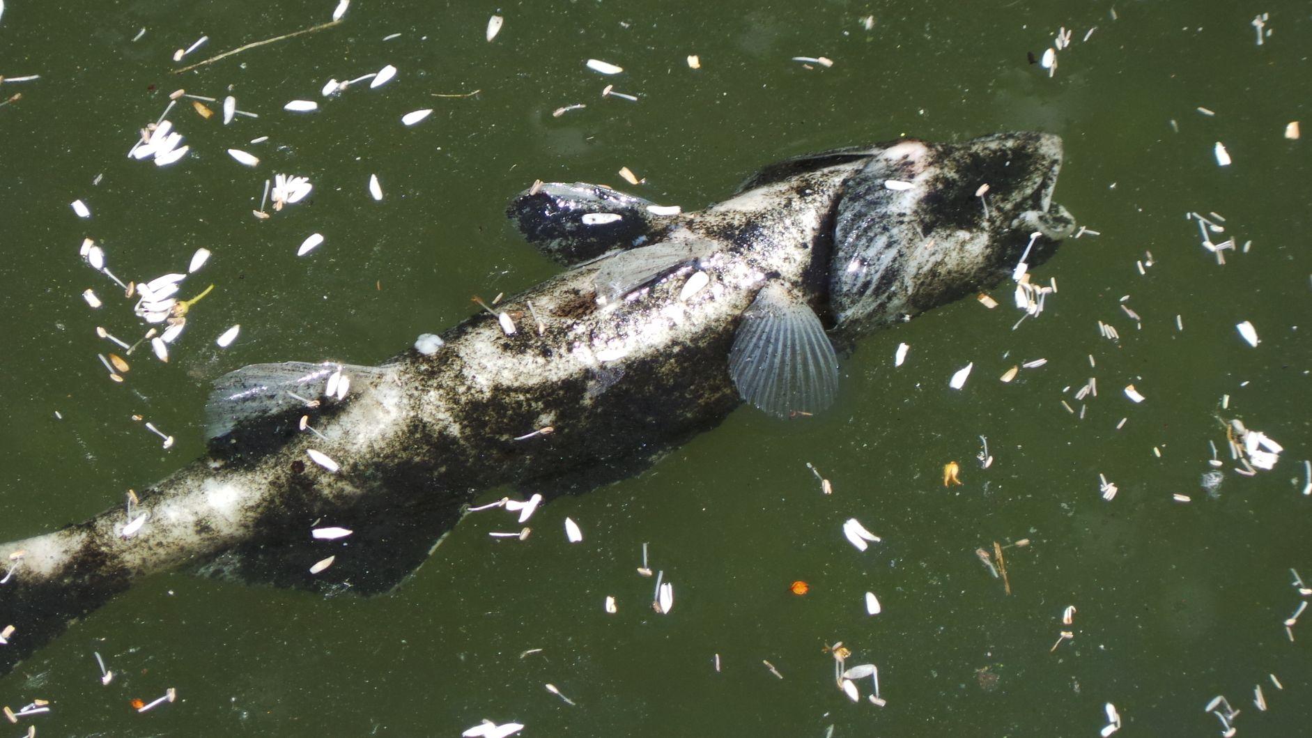 Toter Fisch treibt im Wasser (Symbolbild)