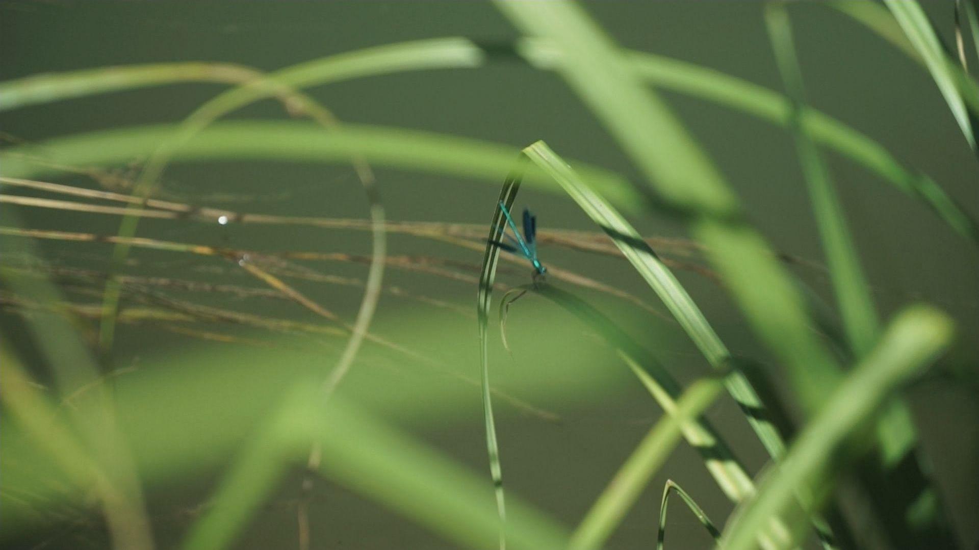 Ein Männchen der gebänderten Prachtlibelle auf seinem Revierflug.