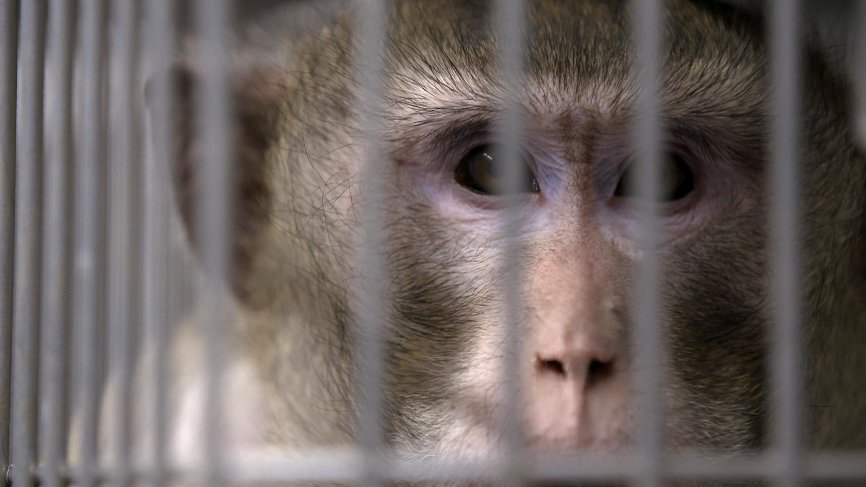 Affe in Versuchslabor