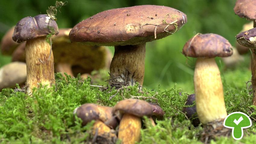 Typisch ist der kastanienbraune Hut. Die Röhren sind grüngelb, der Stiel gelblich und braun überfasert. Fleisch und Röhren laufen meist blau an.
