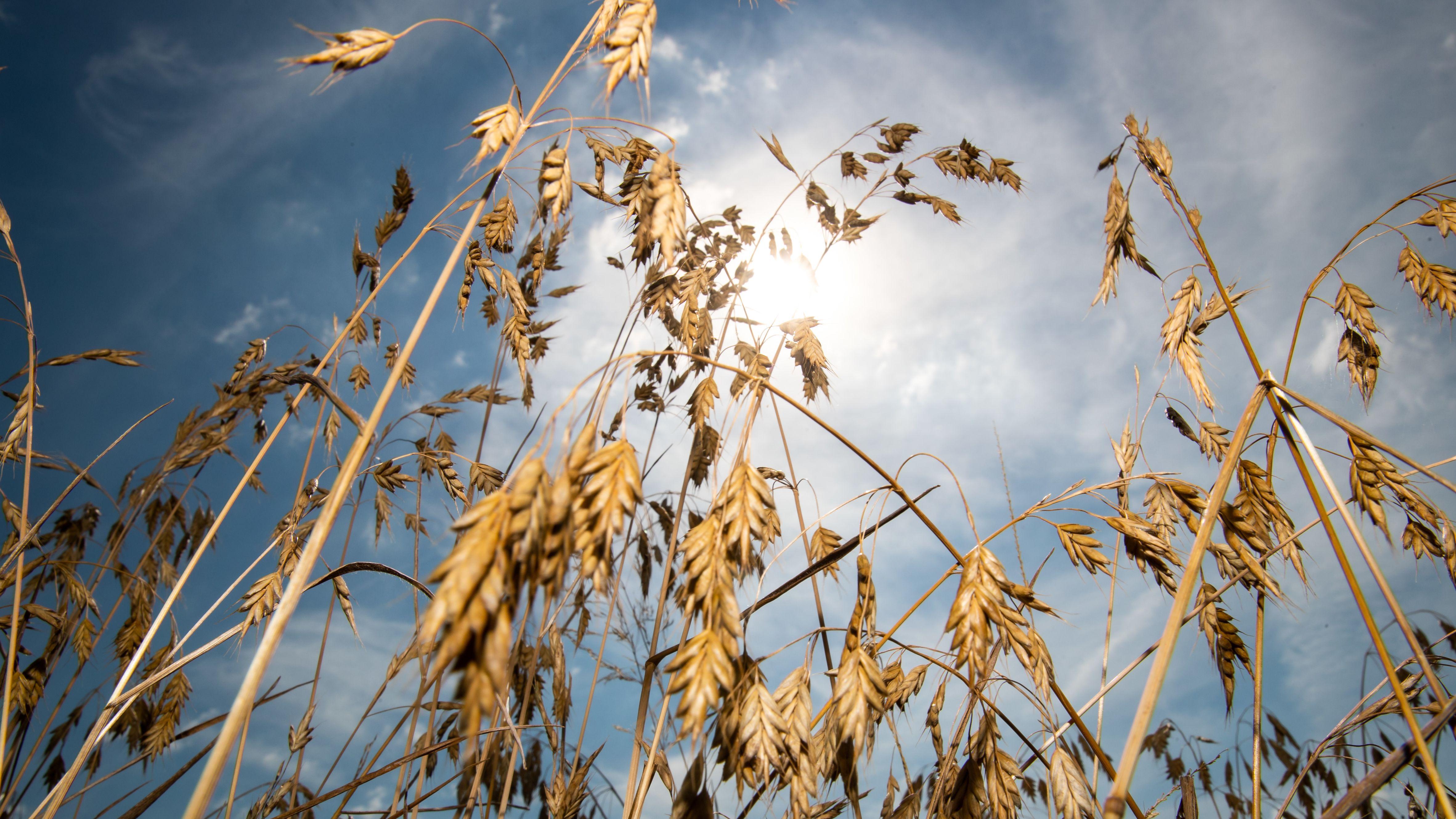 Sommerweizen vor der Kulisse der Sonne