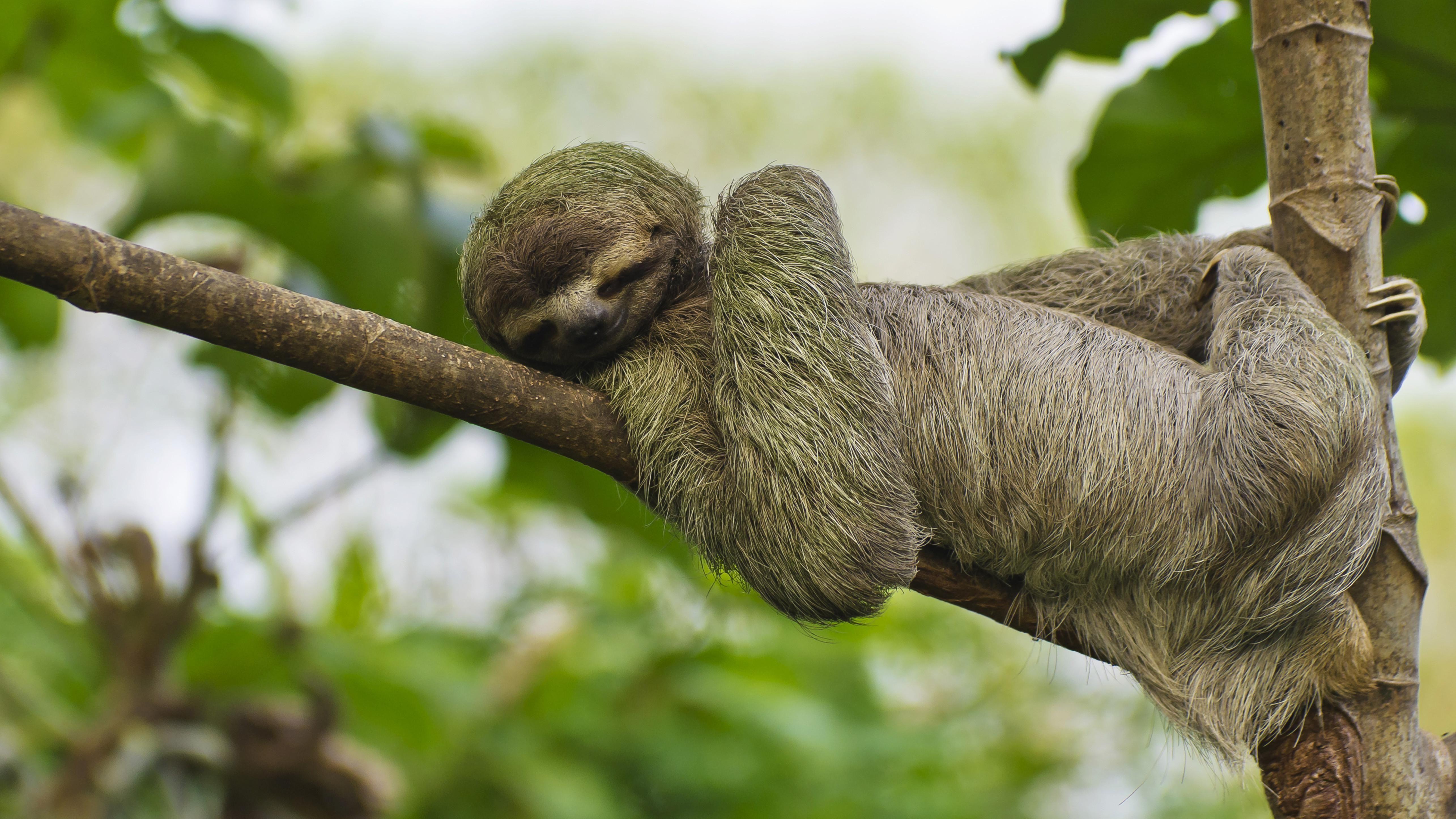 Am 20. Oktober ist Weltfaultiertag. Hier macht ein Braunkehl-Faultier im Manuel Antonio Nationalpark in Costa Rica vor, wie's geht.