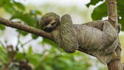 Am 20. Oktober ist Weltfaultiertag. Hier macht ein Braunkehl-Faultier im Manuel Antonio Nationalpark in Costa Rica vor, wie's geht. | Bild:picture alliance/imageBROKER