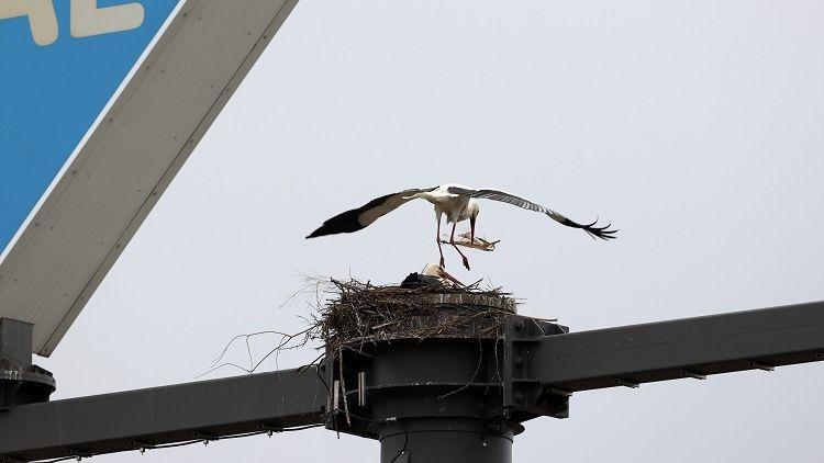 Ein Storch landet in einem Nest