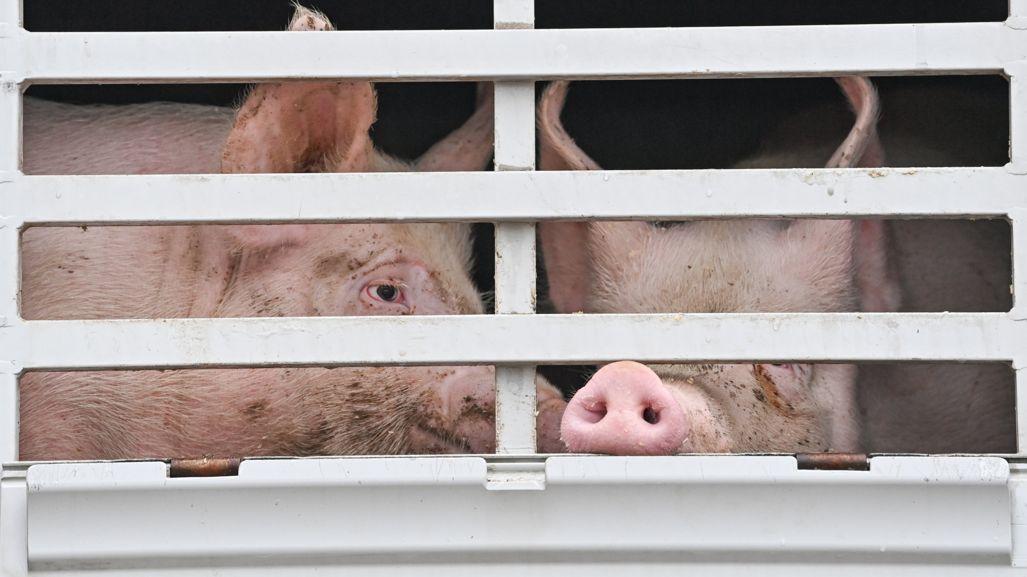 Schweine im Viehtransporter auf dem Weg zum Schlachthof