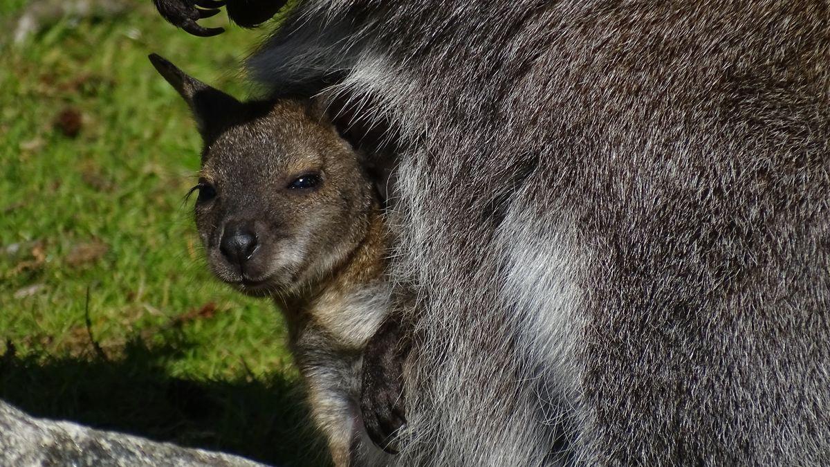 Ein kleines Bennettkänguru