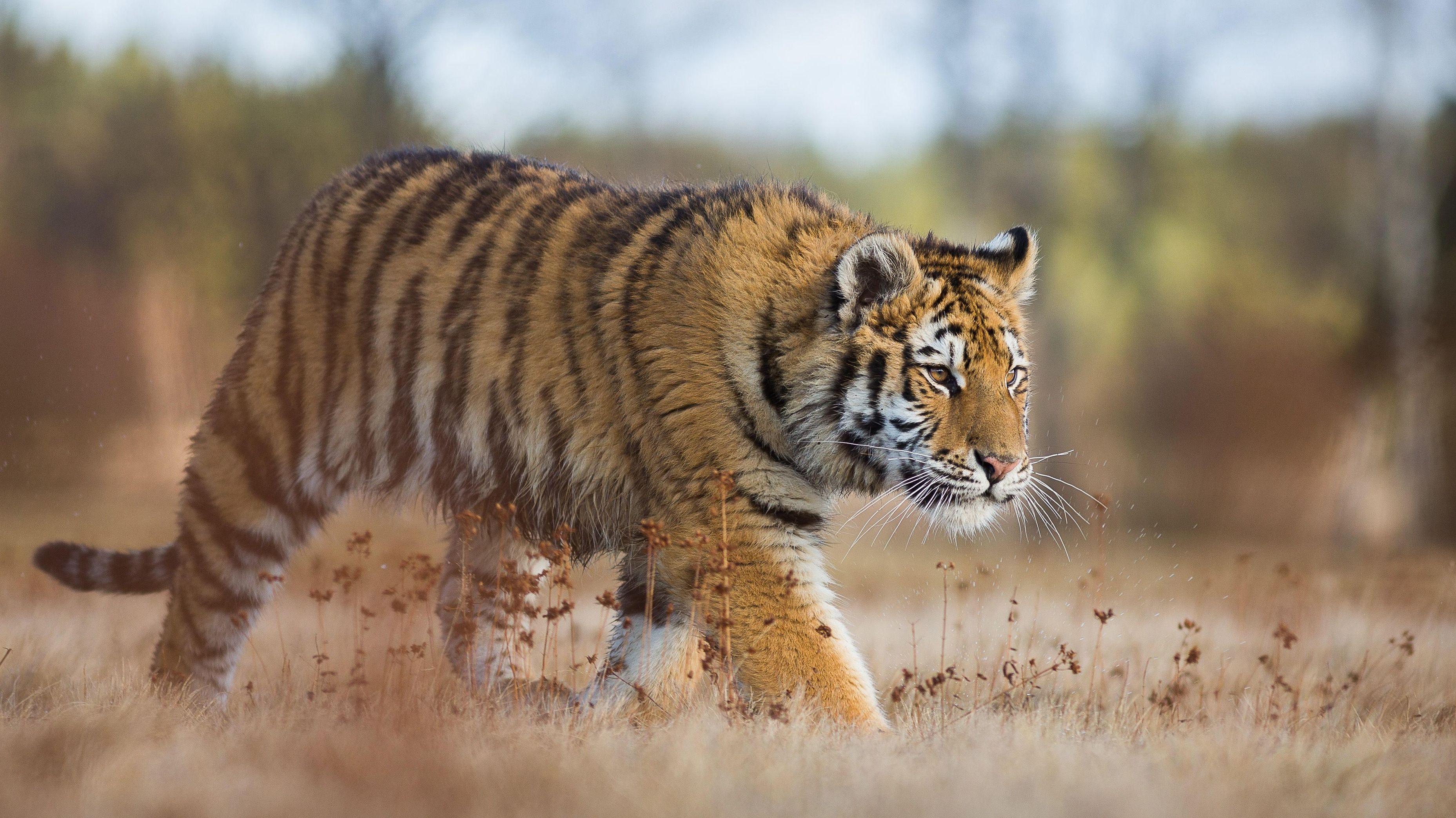 Symbolbild Tiger