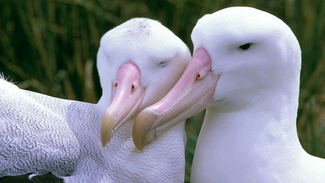 Albatros - schmusendes Paar