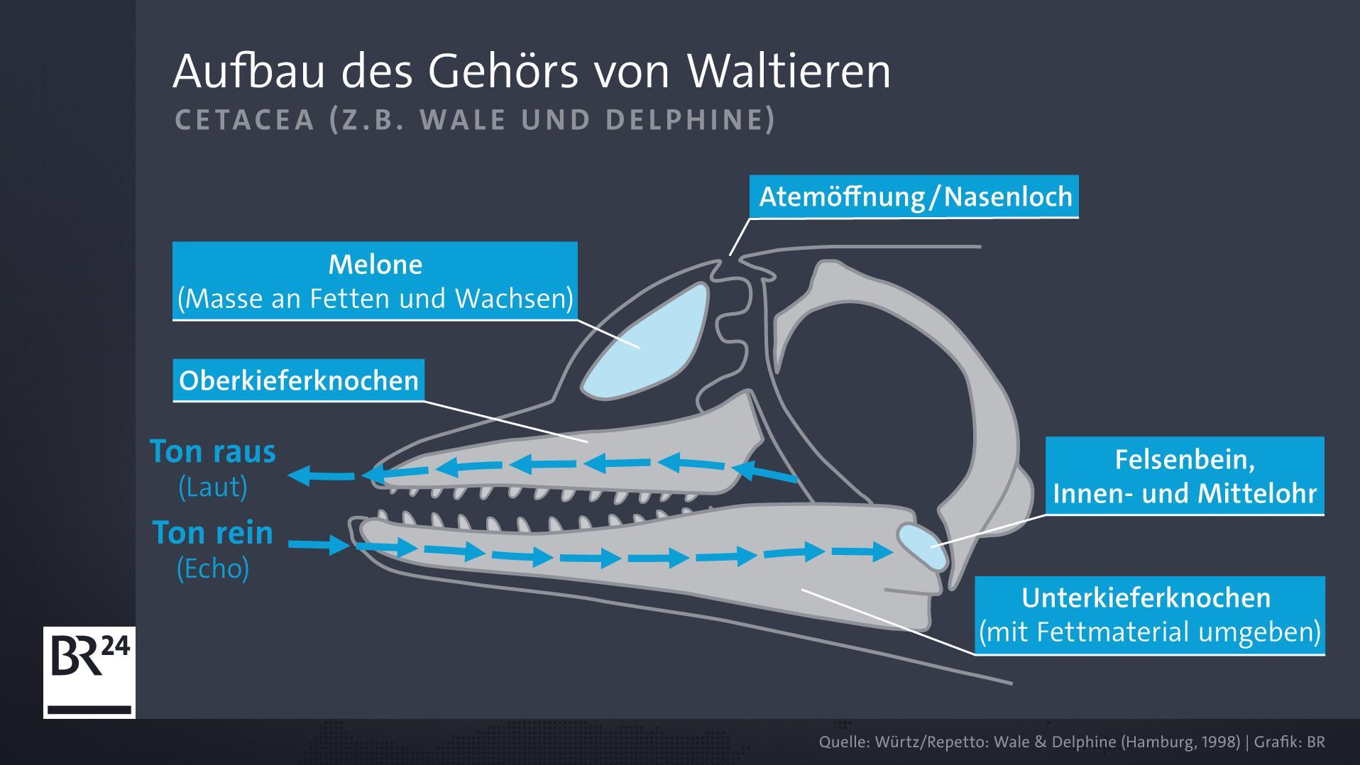 Aufbau des Gehörs von Waltieren (Cetacea)