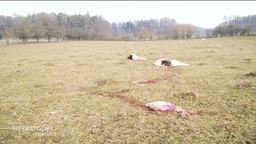 Tierkadaver liegen auf einer Weide, dahinter Bäume. | Bild:BR