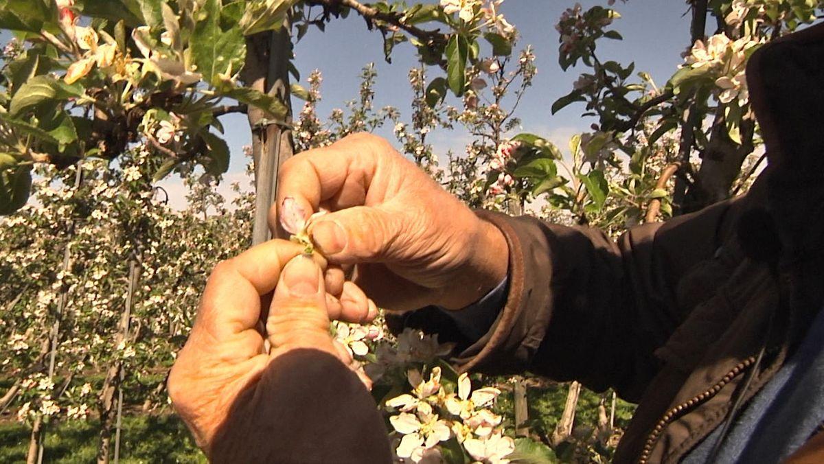 Lindauer Obstbauer prüft Apfelblüte nach Frost