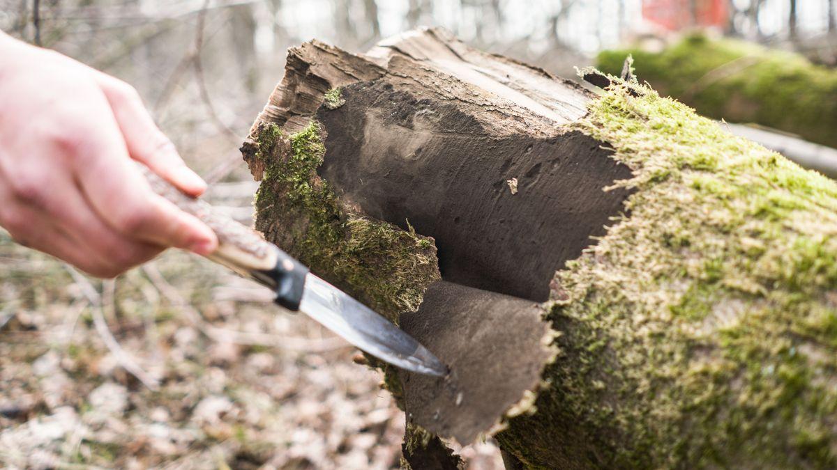 Ein Mann zeigt in einem Wald die Auswirkungen der Rußrindenkrankheit mit den aufsteigenden Sporen an der Rinde. (Symbolbild)