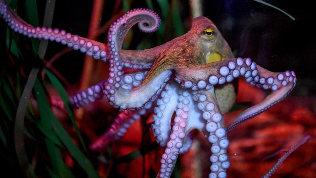 Oktopus im Wasser