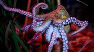 Oktopus im Wasser | Bild:picture alliance/Britta Pedersen/dpa-Zentralbild/dpa