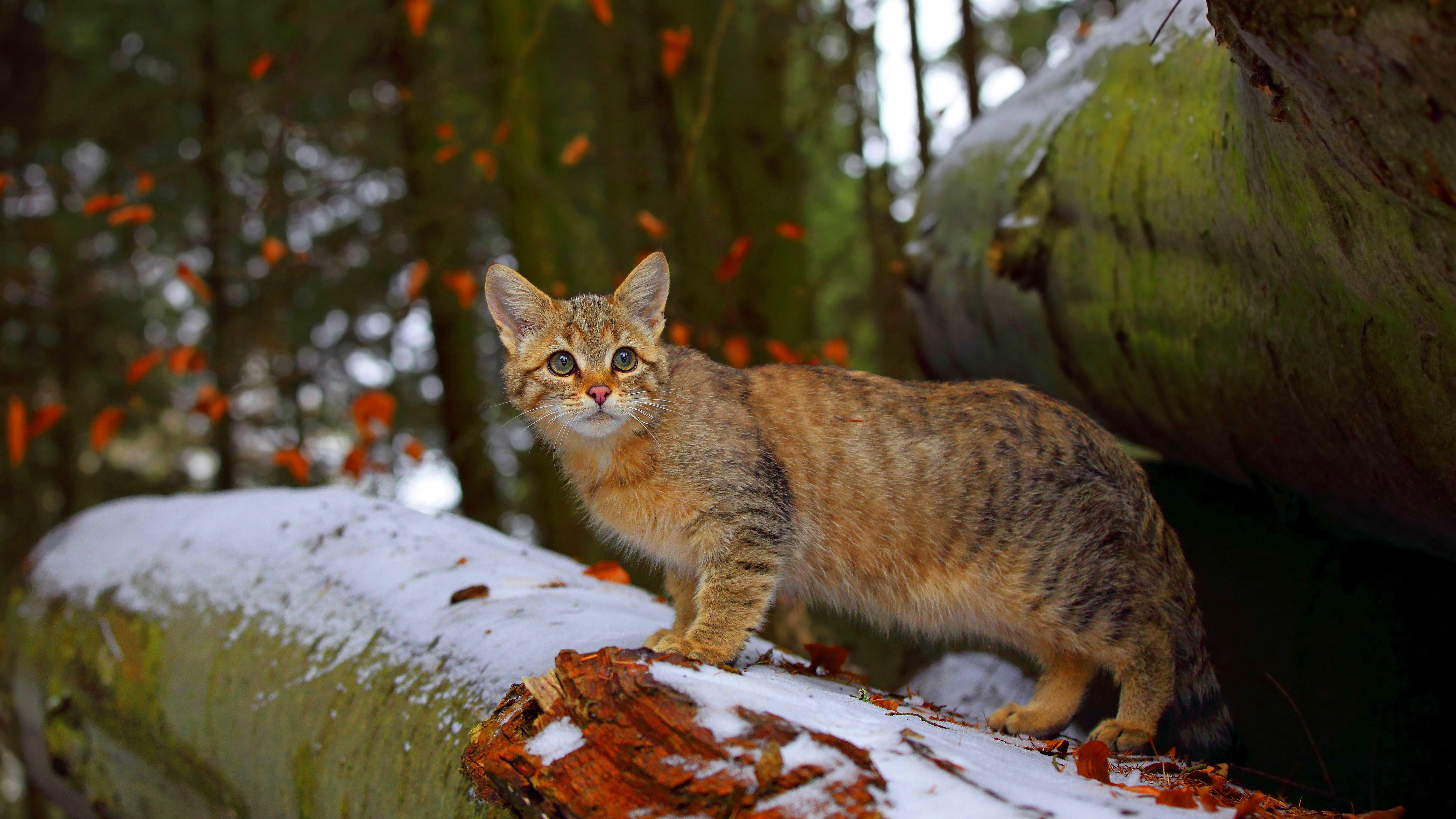 Eine Wildkatze steht auf einem Baumstamm.