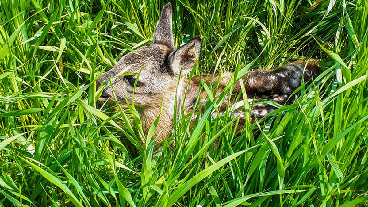 Rehkitz im Gras