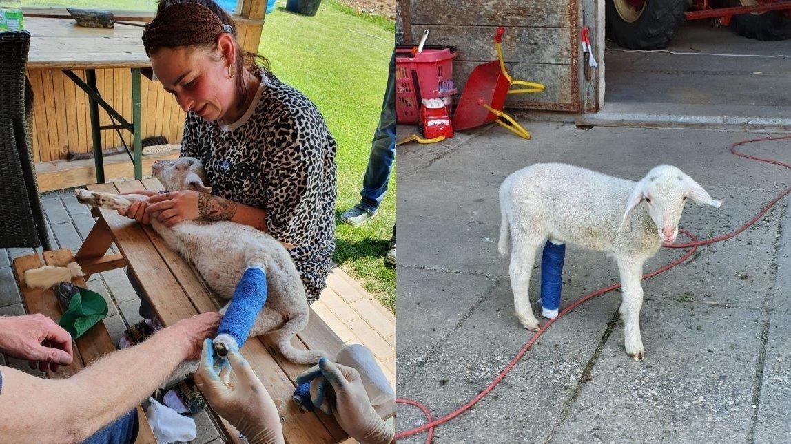 Lämmchen Hannes wird von zwei Chirurgen verarztet. Wenig später kann das Jungtier wieder problemlos auftreten.