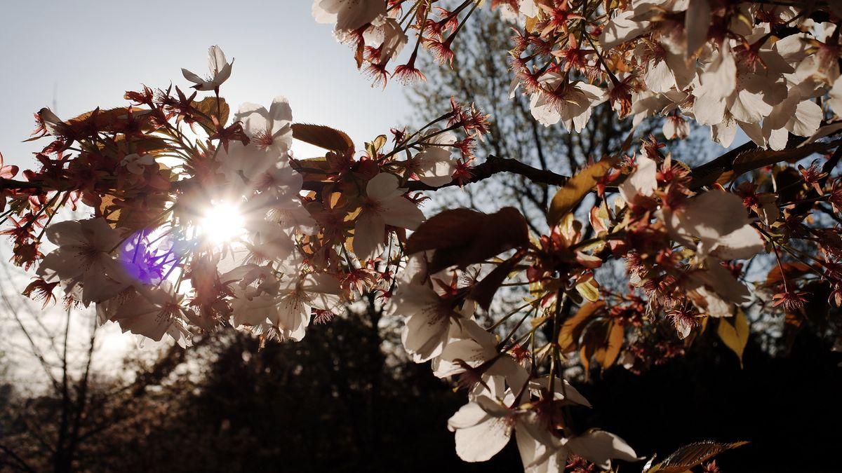 Sonne scheint hinter einem Kirschblütenzweig hervor