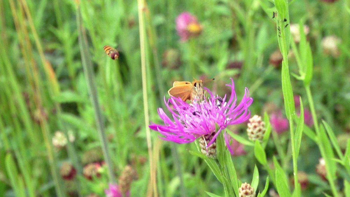 Insekten an blühenden Wiesenblumen
