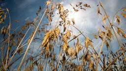 Trockene Weizenähren vor sonnigem Himmel | Bild:dpa-Bildfunk
