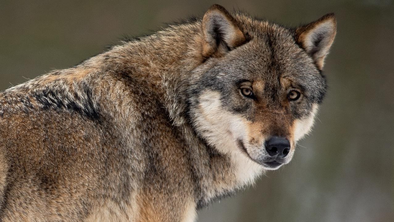 Symbolbild: Ein Wolf in einem Gehege im Wildpark Neuhaus, Foto vom 03.02.2019.