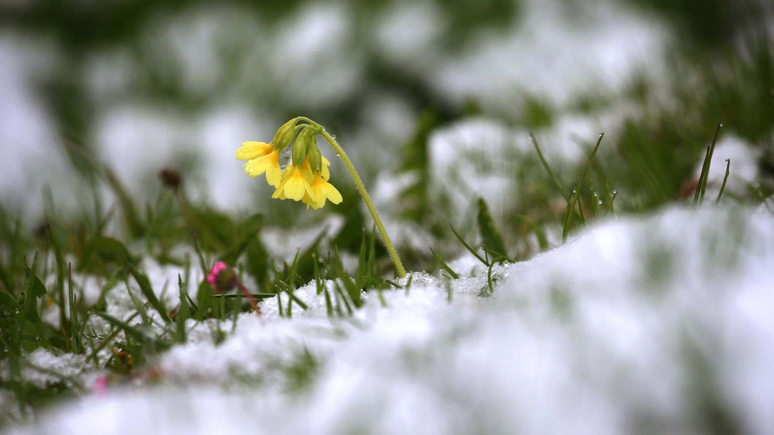 Schlüsselblume auf schneebedeckter Wiese