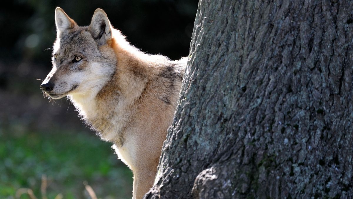 Symbolbild: Wolf