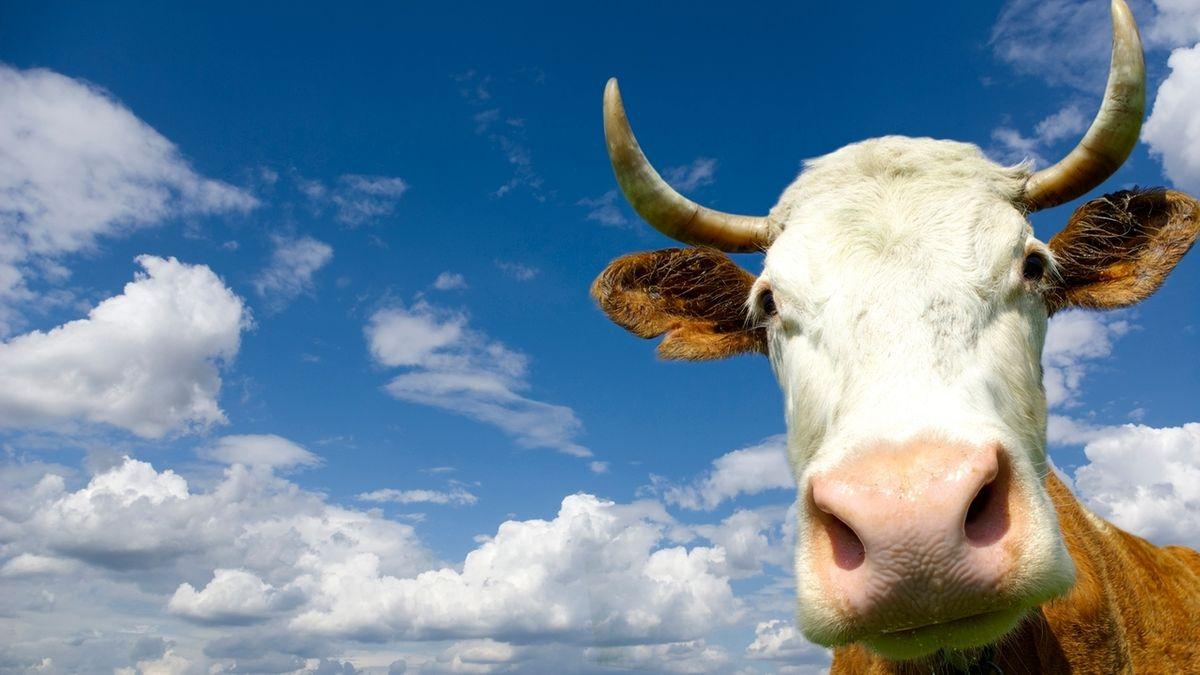 Ein Kuh mit Hörnern - Nahaufnahme des Kopfs (Symbolbild).