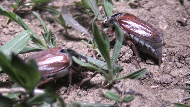 Zwei Maikäfer auf einem Feld