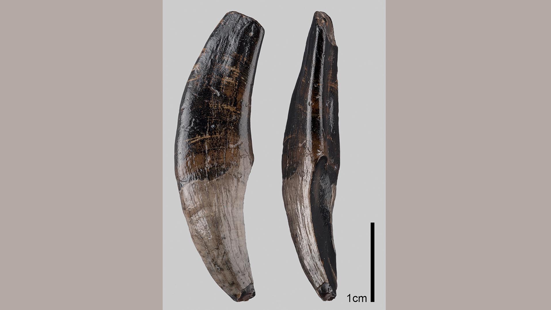 Fossiler Makaken-Zahn