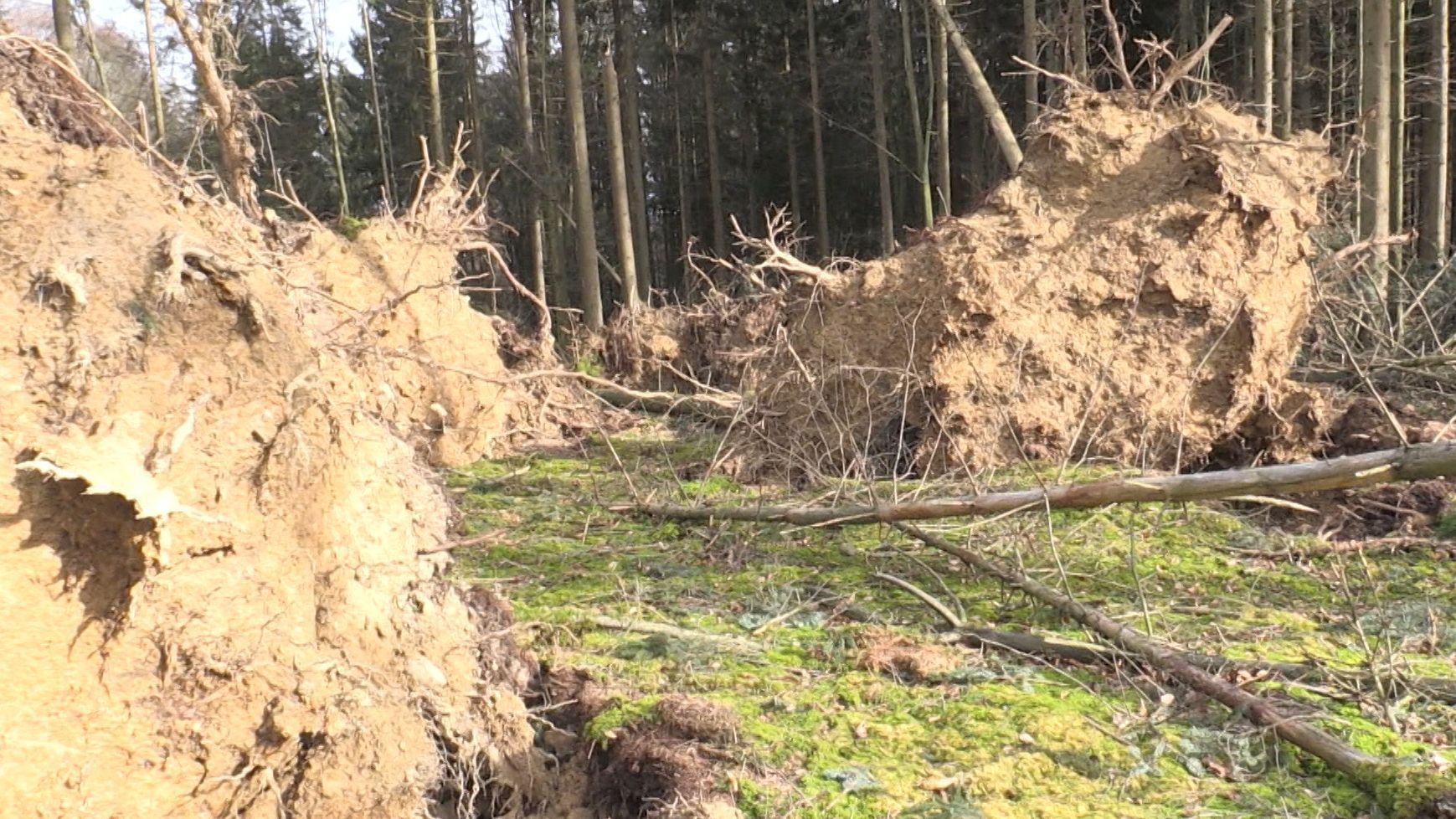 Entwurzelte Bäume im Wald
