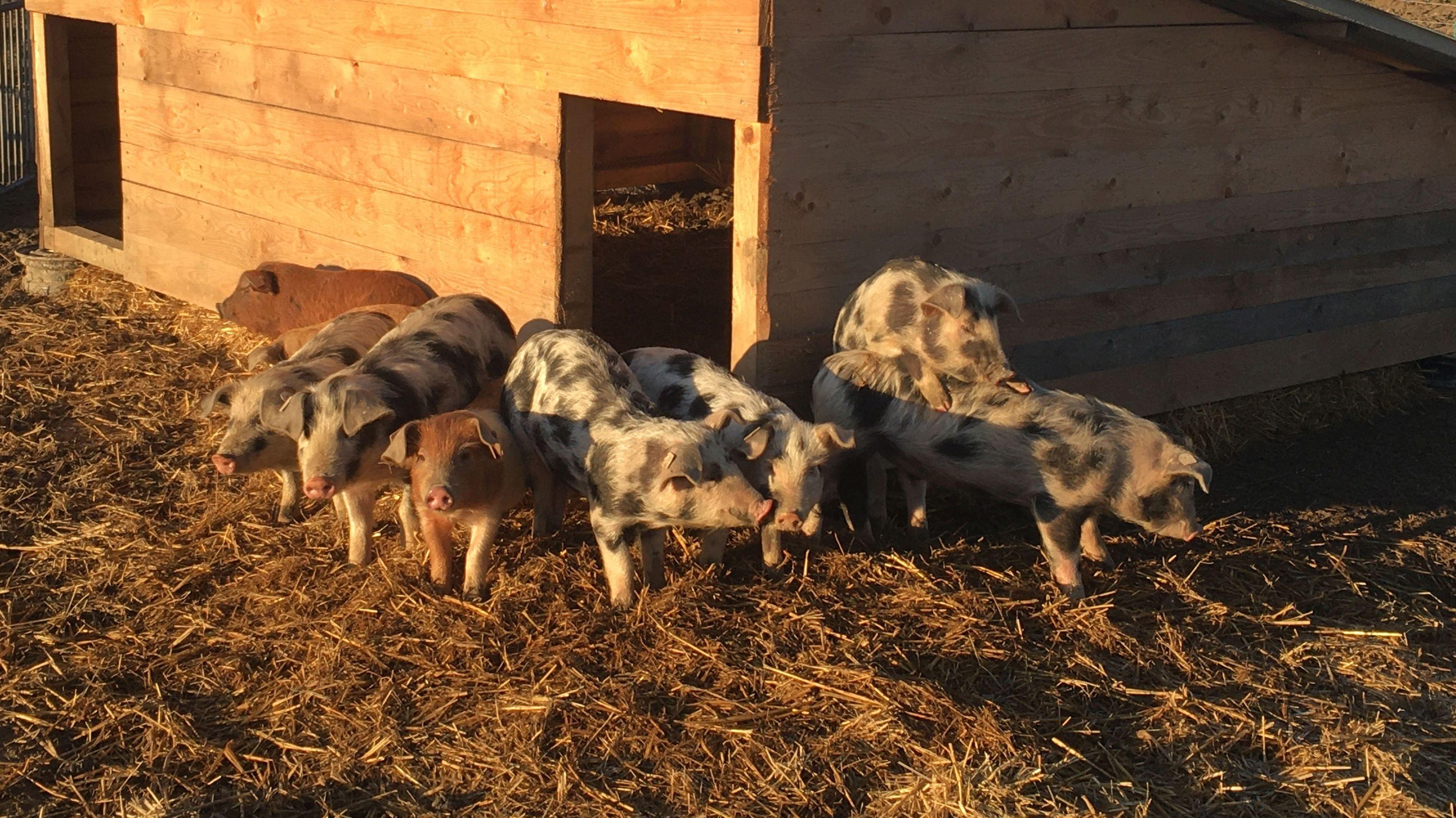 Gefleckte und rotbraune Schweine stehen vor ihrer Hütte im Stroh.