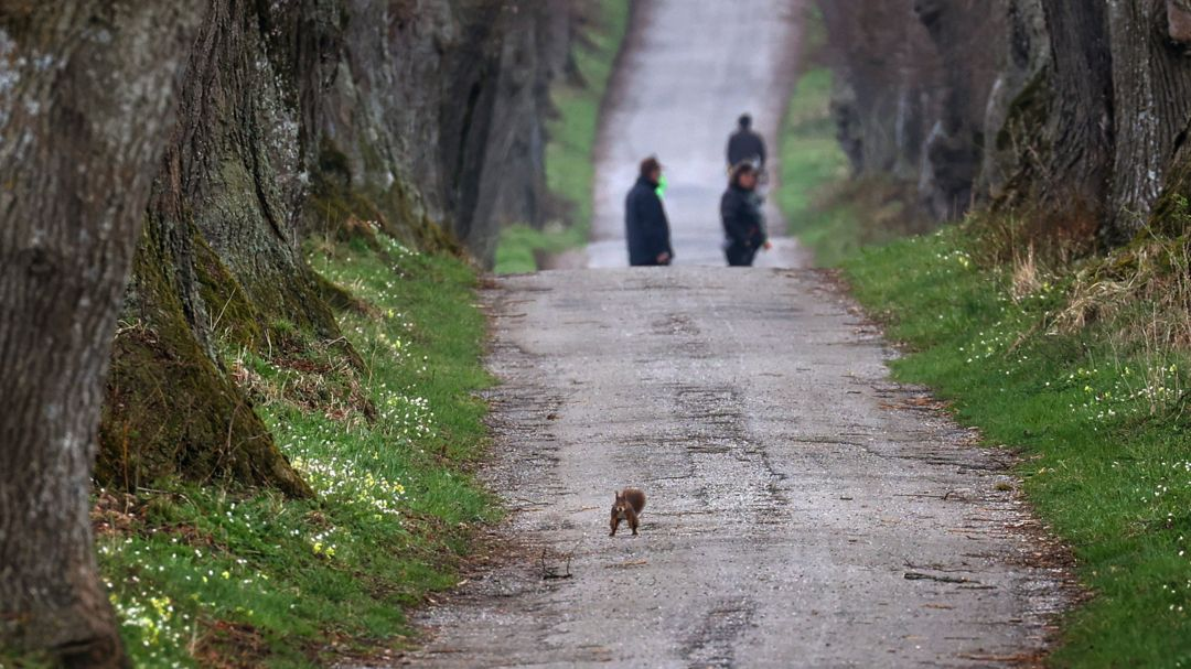 Bayern, Marktoberdorf: Ein Eichhörnchen springt auf der Kurfürstenallee über den Weg.