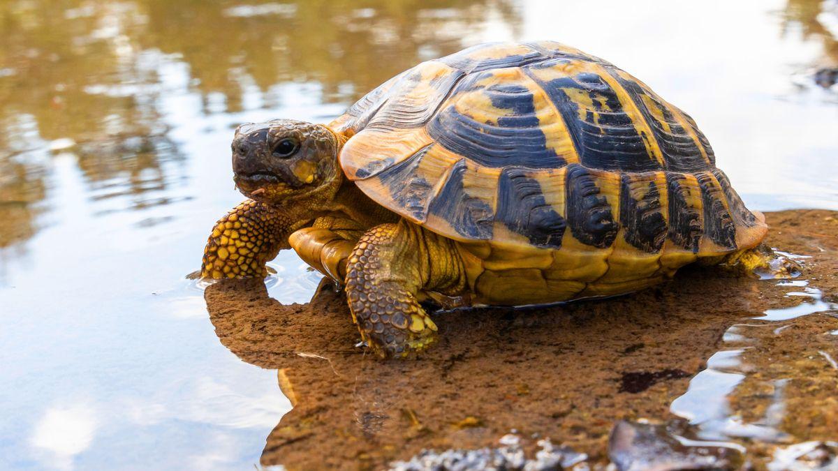 Eine griechische Landschildkröte im Flachwasser.