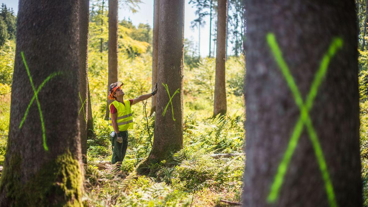 Waldarbeiter der bayerischen Staatsforsten untersucht einen wegen Käferbefall zum Fällen markierten Baum
