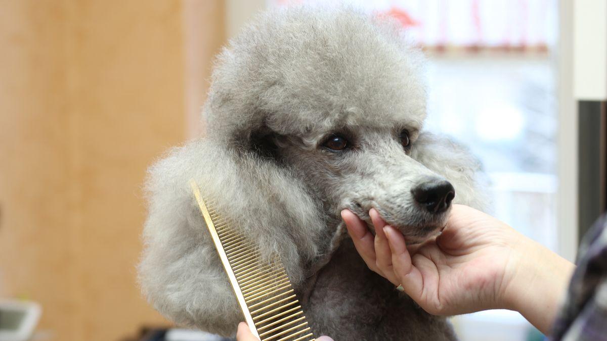 Pudel beim Hundefriseur