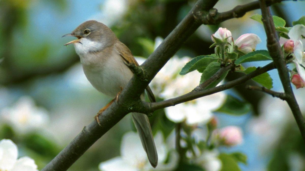 Ein singendes Dorngrasmücke-Männchen auf einem blühenden Zweig