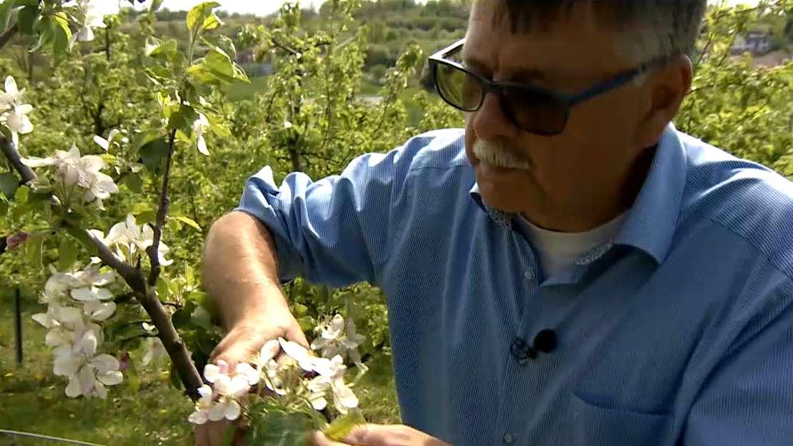 Ein Mann betrachtet die Blüten eines Obstbaumes.