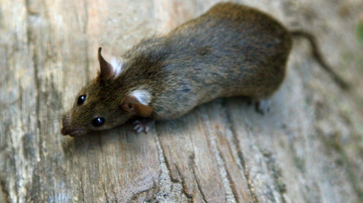 Wissenschaftler der Humboldt-Universität Berlin haben herausgefunden, dass Ratten gerne Verstecken spielen -  mit Menschen.