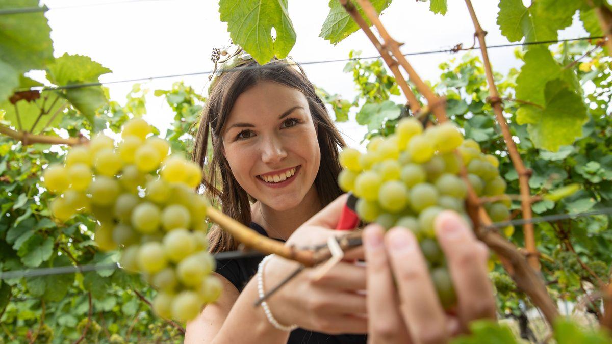 Die Fränkische Weinkönigin Carolin Meyer schneidet Weintrauben ab.