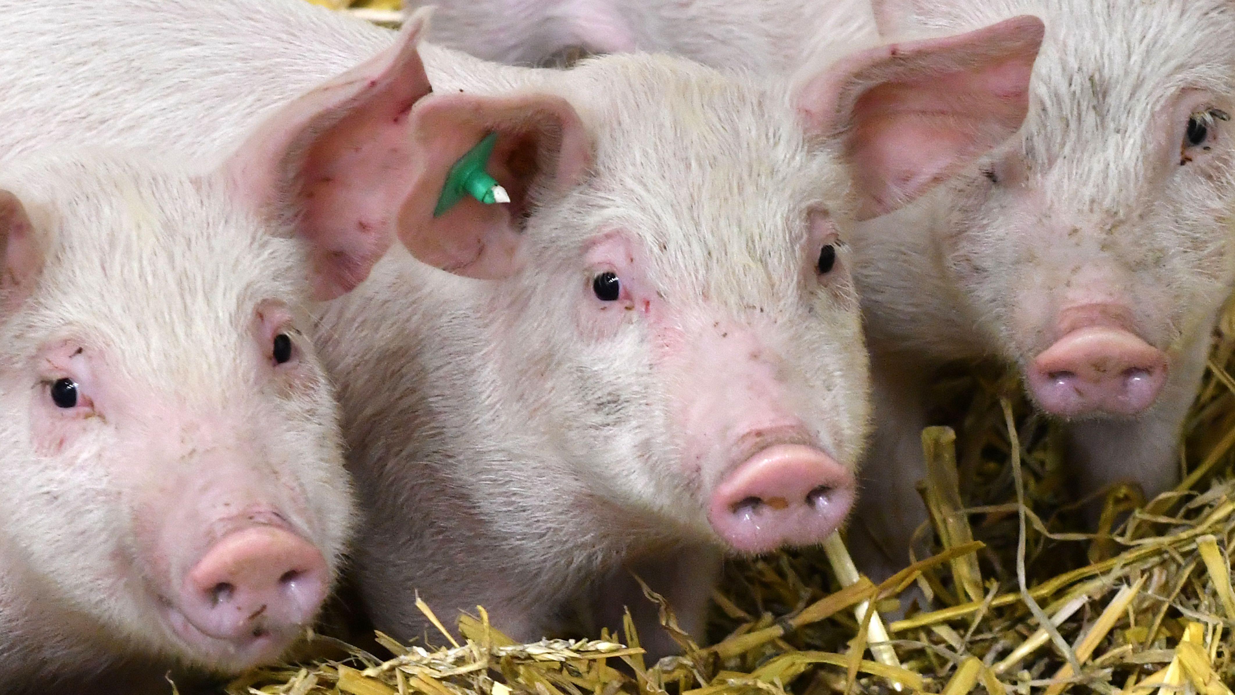 Drei Schweine, die am Sonntag in Bayerdilling ausgebüxt waren, sind wieder wohlbehalten zurück bei ihrem Halter.