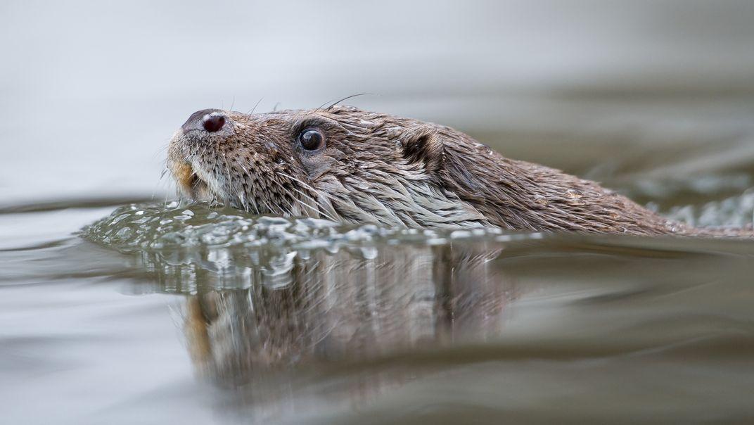 Ein Fischotter im Wasser.