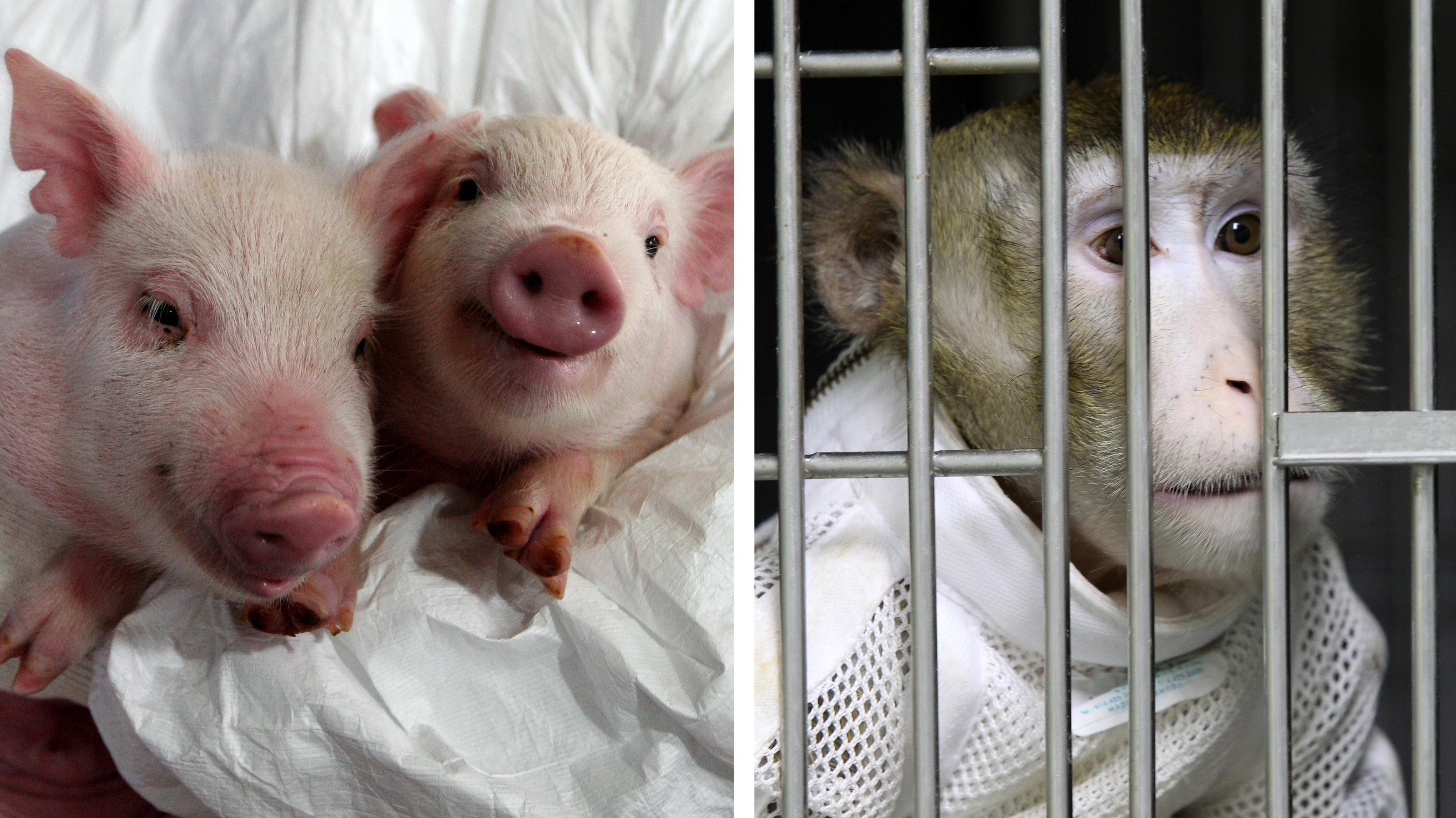 Zwei genmodifizerte Ferkel, deren Herzen in den rechts im Bild dargestellten Pavian transplantiert wurden.