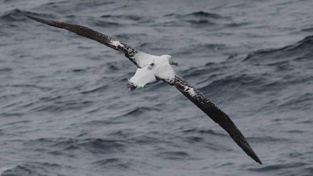 Albatros mit GPS-Sender und Radardetektor