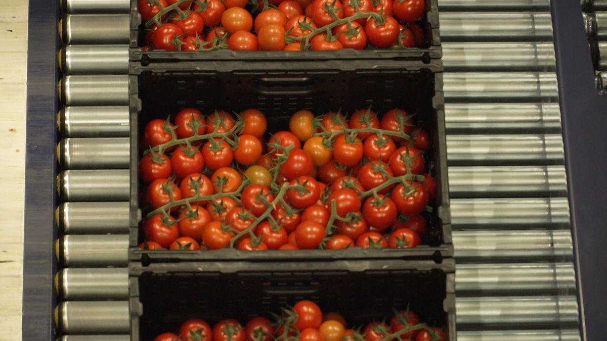 Tomatenkisten auf dem Rollband