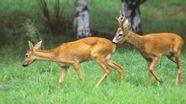 Rehbock treibt Ricke vor sich her | Bild:picture alliance / blickwinkel